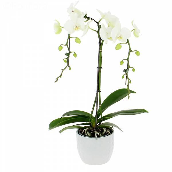 Orchidée Parapluie