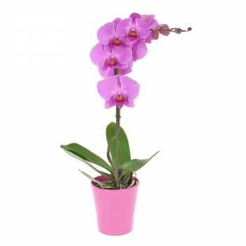 Orchidée - Orchidée Phalaenopsis