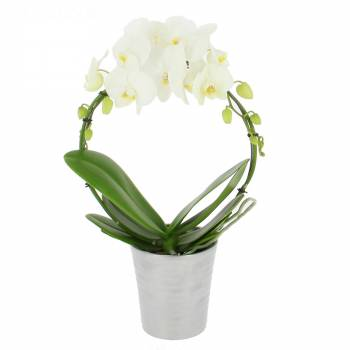 Orchidée - Orchidée Prestige