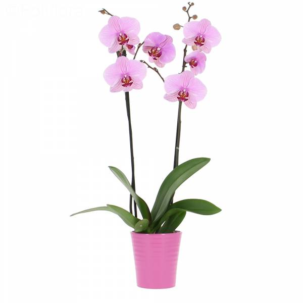 Orchidée Rose Intense (2 branches)