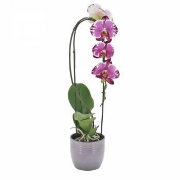 Orchidée - Orchidée Cascade