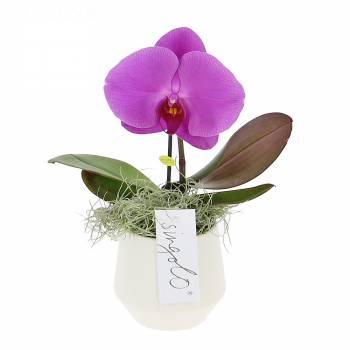 Orchidée - Orchidée Singolo