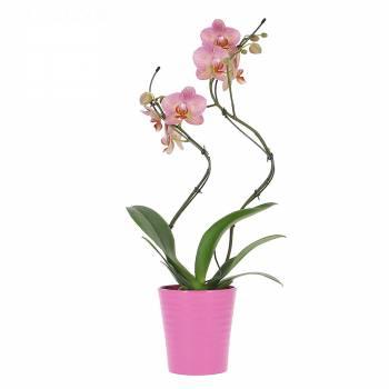 Envoi express : Orchidée Twist