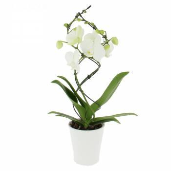 Orchidée - Orchidée Twist Blanche