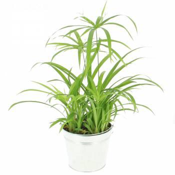 Plante verte - Papyrus du Nil