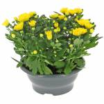 petit-chrysantheme