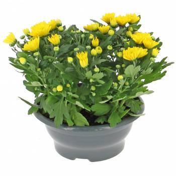 Plante fleurie - Jeune Chrysanthème