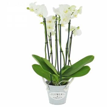 Orchidée - Phalaenopsis (4 tiges)