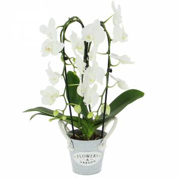 Orchid - Phalaenopsis Cascade (2 branches)