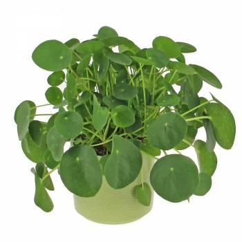 Plante verte - Piléa