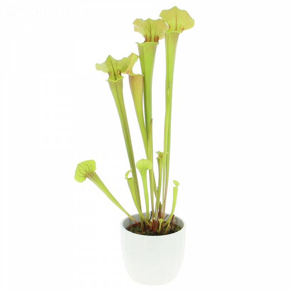 Sarracenia Tygo - Plante Carnivore