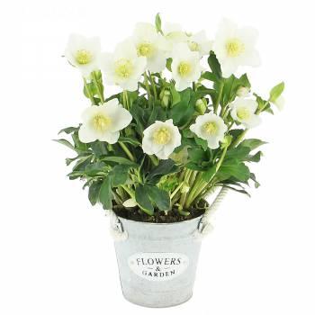 Flowering plant - Hellebore