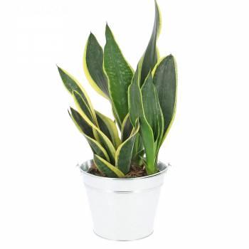 Plante verte - Sansevieria