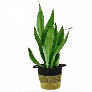 Plante verte - Sansevieria Moonshine