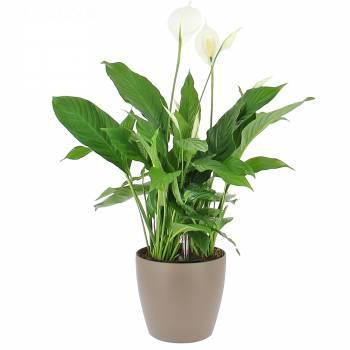 Plante de bureau - Spathiphyllum en Bac à réserve d'eau