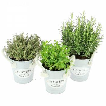 Livraison express : Trio de Plantes Aromatiques