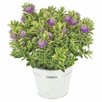Flowering plant - Véronique Panachée