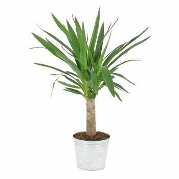 Plante verte - Yucca